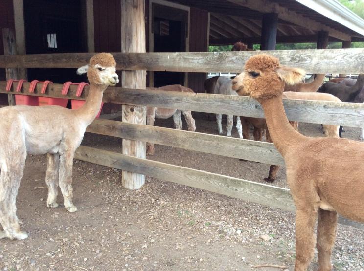 Naked alpacas