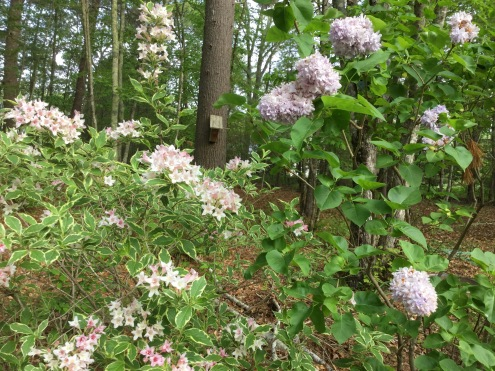 Variegated Wiegela & Korean Lilac