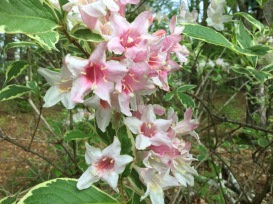 Variegated Wiegela Blossoms