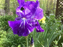 Purple Striped Iris