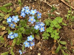 Blue Forget menots