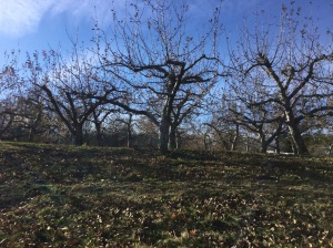 Apple Orchard in November