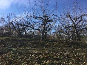 Apple Orchard in November