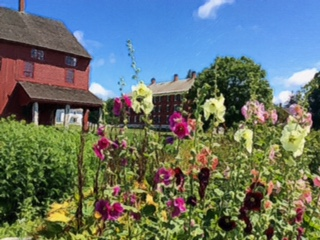 Hollyhocks in medicinal garden